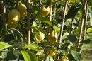 The Benefits of Lemon Oil on Skin