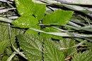 Nettle Leaf Benefits