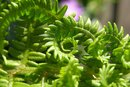 Fern Plants that are Not Poisonous to Children