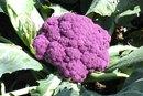 Purple Cauliflower Nutrition Information