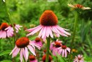 How to Use Echinacea to Treat Acne