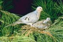 How to Clean and Cook a Mourning Dove