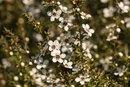 Tea Tree Oil for Receding Gums