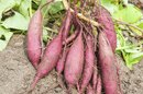 Dried Sweet Potato Nutrition