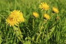 Can You Eat Dandelion Leaves?