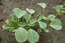 Uses of Fenugreek in Ayurvedic Medicine