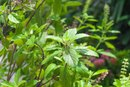What Are the Benefits of Tulsi Leaves?