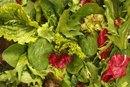 Nutritional Value of Baby Spring Mix