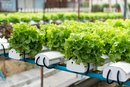Hydroponic Vegetable Nutrients Vs. Organic