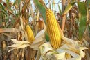 Risks & Side Effects of Genetically Modified Food