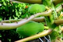 What Are the Health Benefits of Pawpaw?