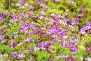 Longevity With Astragalus