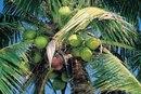 Is Virgin Coconut Oil Good for Diabetics?