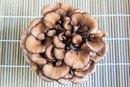 What Are the Benefits of Maitake Mushroom Extract?