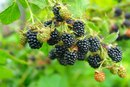 What are the Health Benefits of Blackberries?