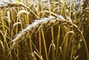 Does Wheat Cause Bloating?
