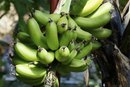 Vitamins in a Plantain Banana