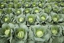 Nutritional Value of Cabbage