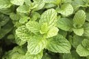 Nutrition of Mint Leaves