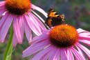 Side Effects of Too Much Echinacea
