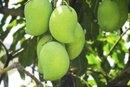I Cut a Mango & Its Not Ripe: What Do I Do?