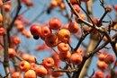 Is Crab Apple Tree Fruit Dangerous?