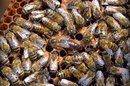 Bee Propolis Benefits