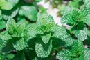 Peppermint for Baby Colic