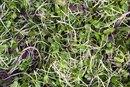 Dangers of Alfalfa Sprouts