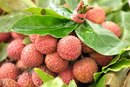 The Benefits of Lychee