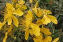 Does St John's Wort Work for Depression?