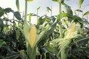 Corn Starch Diet