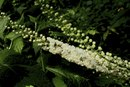 Is a Dose of 540 mg a Day of Black Cohosh Safe for Women?