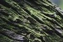 White Oak Bark Benefits