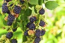 Nutrition of Blackberries