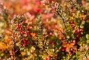 Side Effects of Barberry