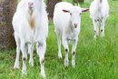 Raw Goat's Milk for Weight Loss