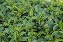 Tea Tree Oil Uses for an Ingrown Hair