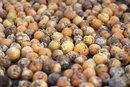 Betel Nut Side Effects