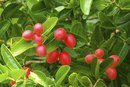 Wolfberry Benefits & Side Effects