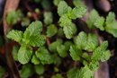 Peppermint's Anti-Inflammatory Benefits