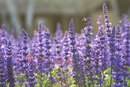Are Sage Flowers Edible?
