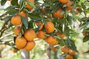 Does an Orange Help Digestion?