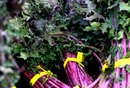 Nutritional Value of Red Russian Kale