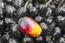 What Are the Dangers of Palm Oil?
