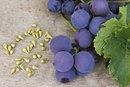 Grape Seed & Varicose Veins