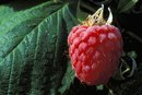 How to Make Raspberry Extract