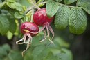 Rose Hips Side Effects