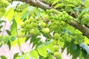 Gallic Acid & Its Uses