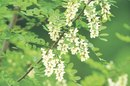 Acacia for Medicinal Uses